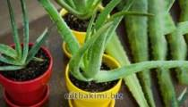 Aloe Vera Bakımı Aloe Vera Çiçeği Faydaları